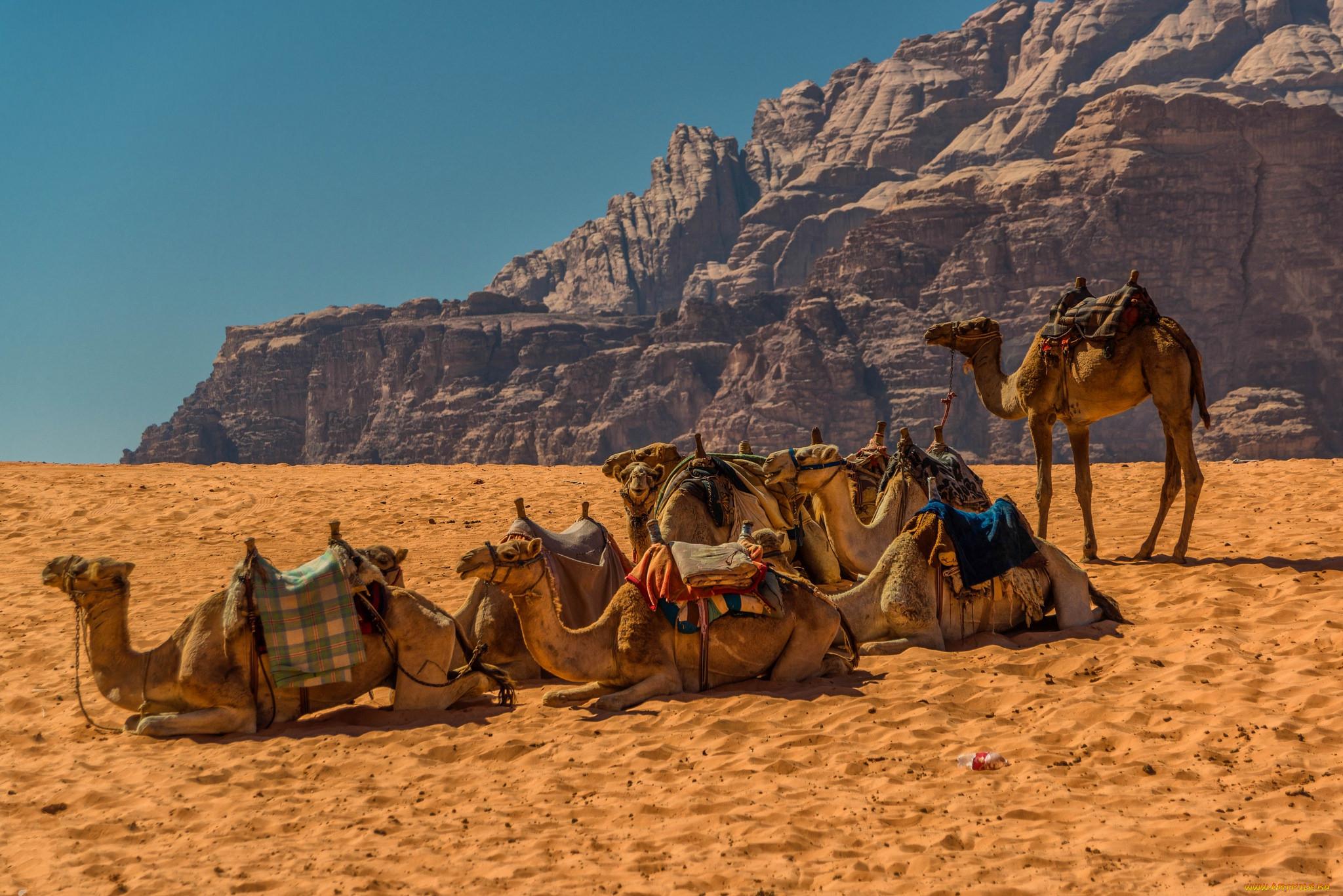 картинка верблюды корабли пустыни самом деле